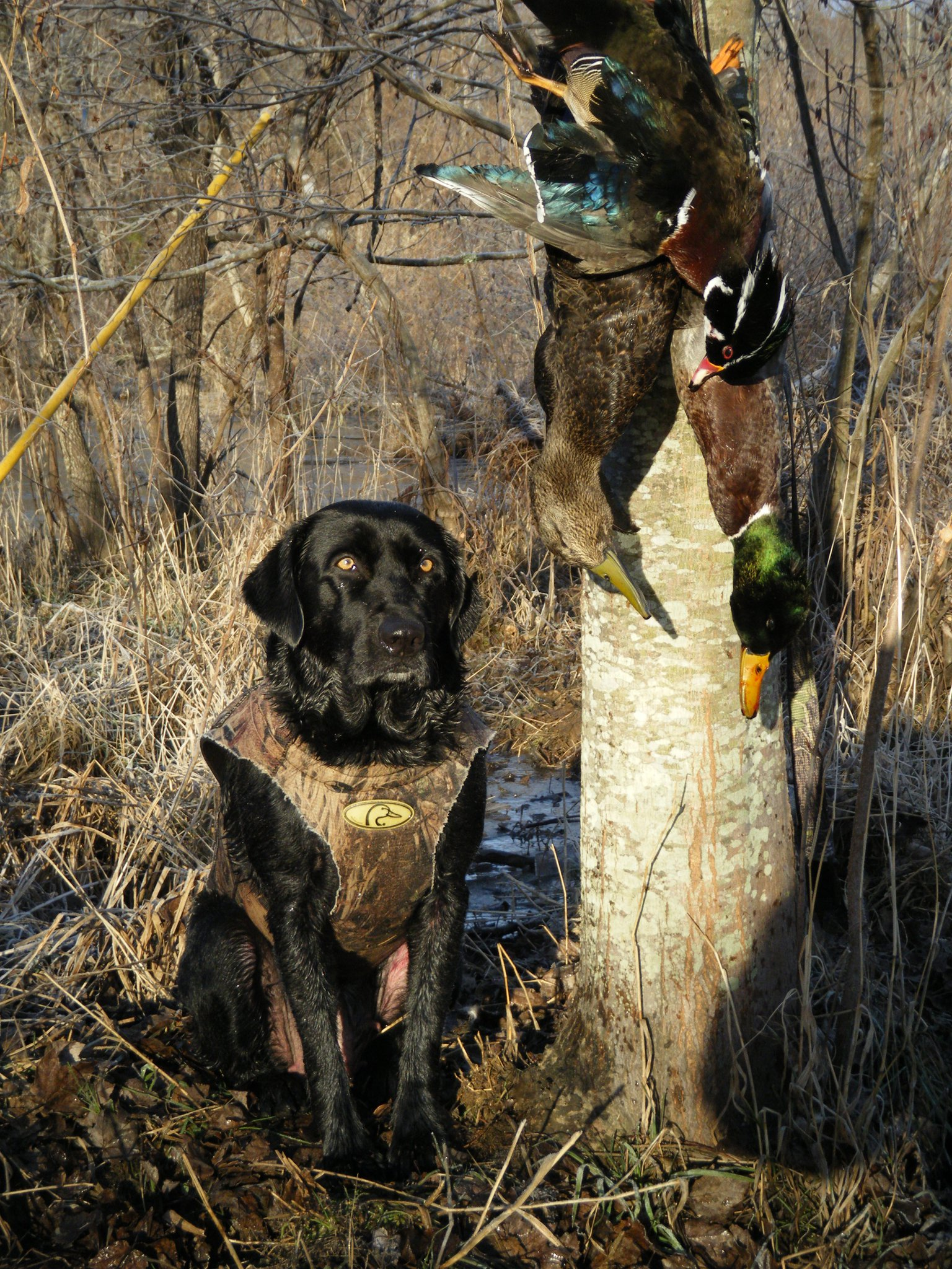 duck hunting wallpaper dogs